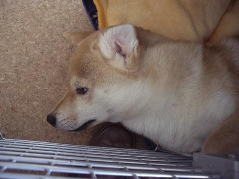 柴犬ズン画像032614
