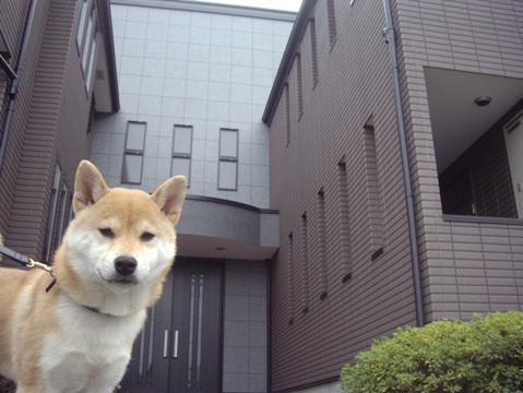 柴犬ズン画像032617