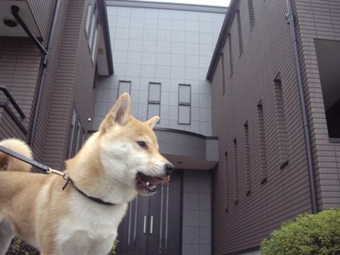 柴犬ズン画像032618