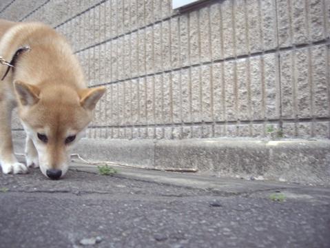 柴犬ズン画像032605