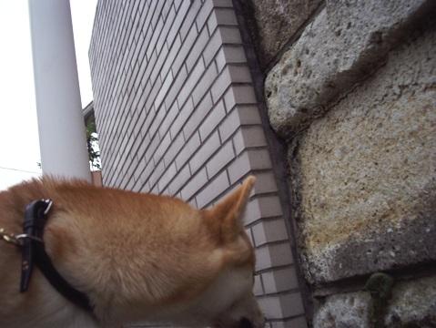 柴犬ズン画像032608