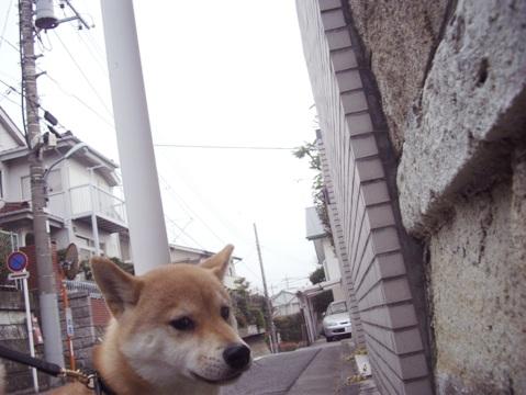 柴犬ズン画像032609