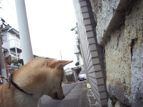 柴犬ズン画像032610
