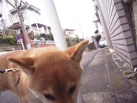 柴犬ズン画像032611