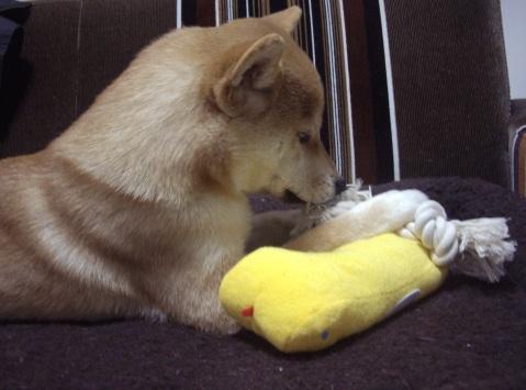 柴犬ズン画像032702