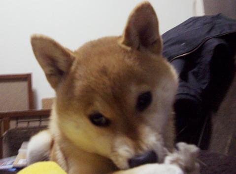 柴犬ズン画像032704