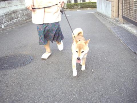柴犬ズン画像032717