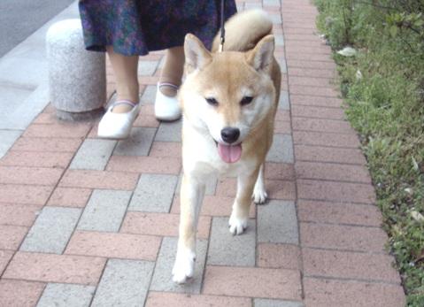 柴犬ズン画像032701