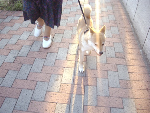 柴犬ズン画像032716
