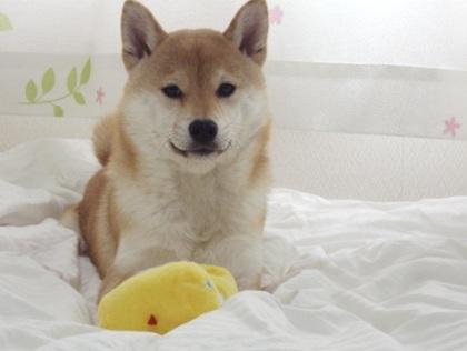 柴犬ズン画像032720