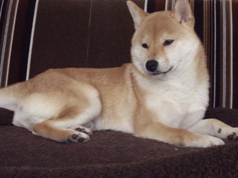 柴犬ズン画像032810