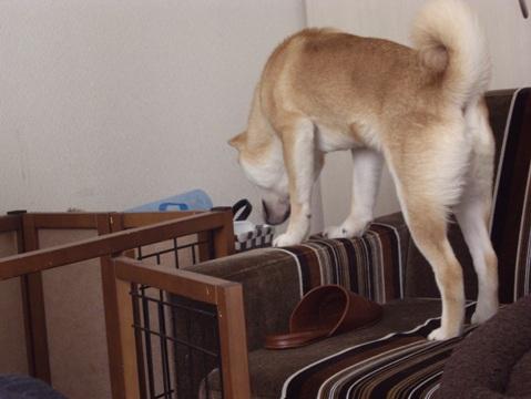 柴犬ズン画像032802