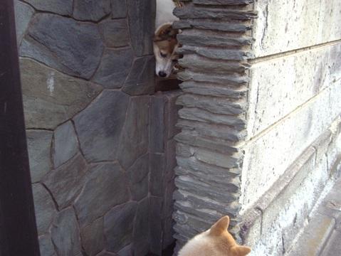 柴犬ズン画像032910