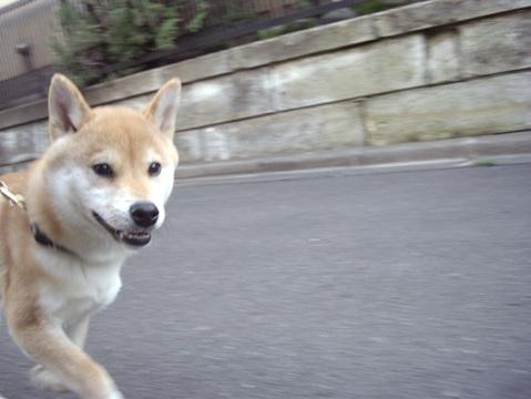 柴犬ズン画像032903