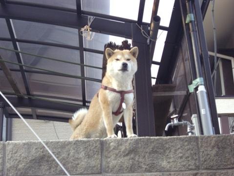 柴犬ズン画像032914