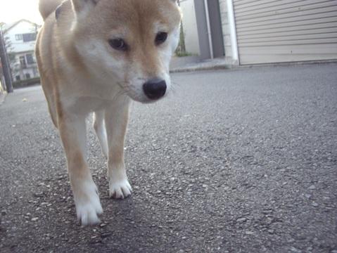 柴犬ズン画像032902