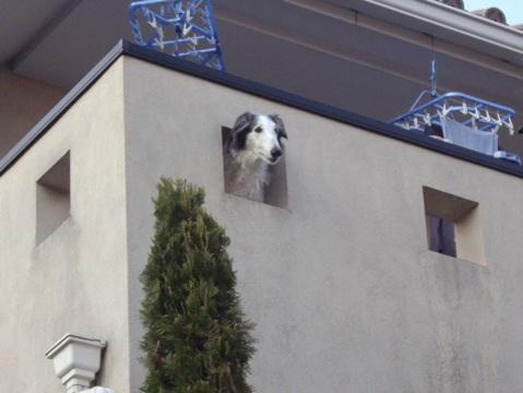 柴犬ズン画像032912