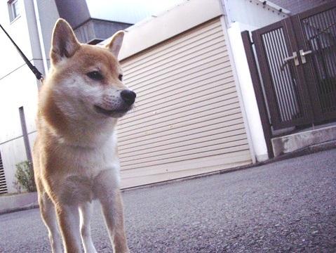 柴犬ズン画像032901