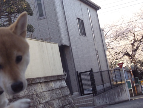 柴犬ズン画像032905
