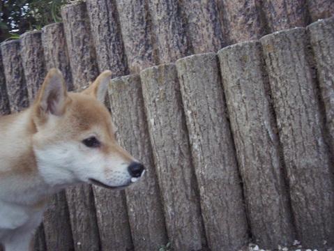 柴犬ズン画像032915
