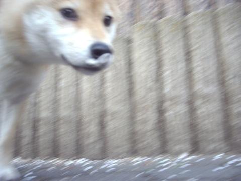 柴犬ズン画像032916
