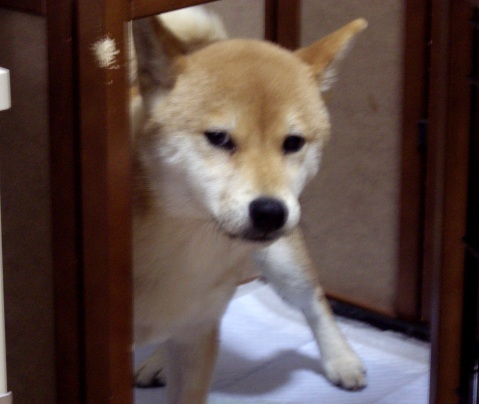 柴犬ズン画像033010