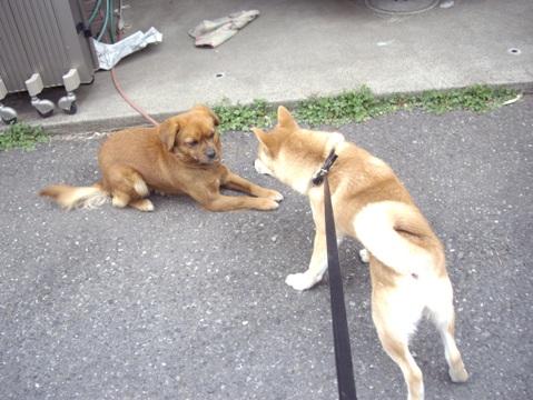 柴犬ズン画像033007