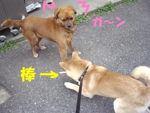 柴犬ズン画像033004