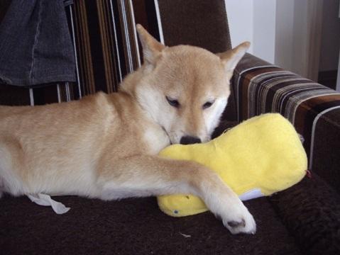 柴犬ズン画像03317