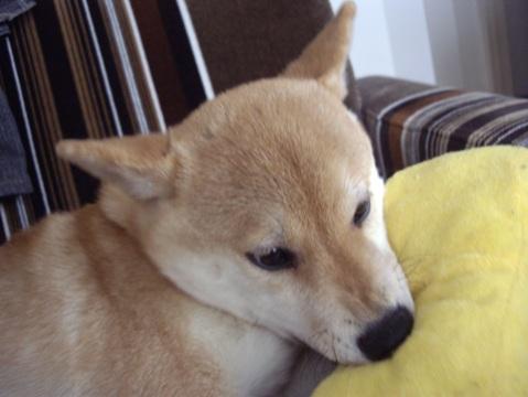 柴犬ズン画像033104