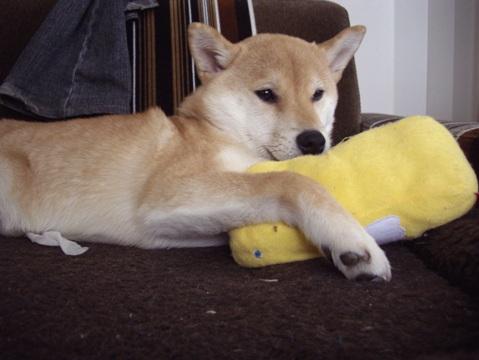 柴犬ズン画像033110