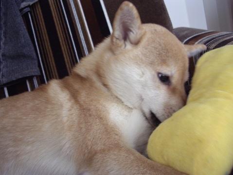 柴犬ズン画像033105
