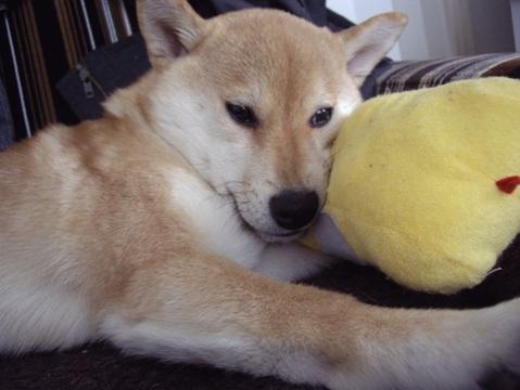 柴犬ズン画像033102