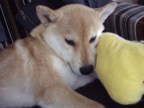 柴犬ズン画像033101