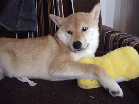 柴犬ズン画像03318