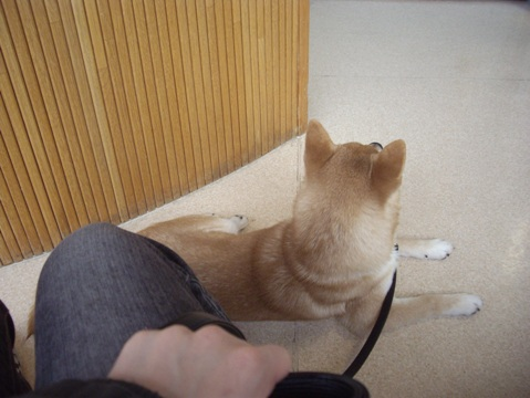 柴犬ズン画像040221