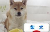 柴犬ズンランキング