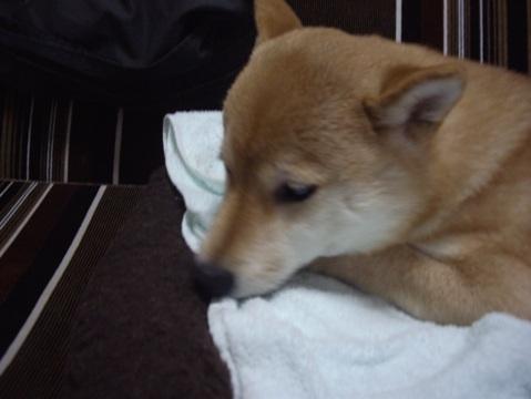 柴犬ズン画像040416