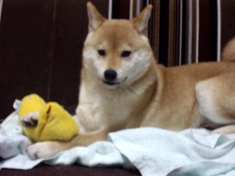 柴犬ズン画像040413
