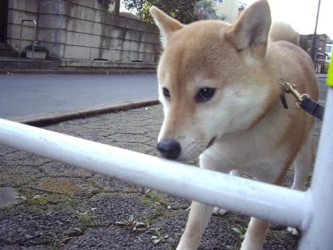 柴犬ズン画像040508