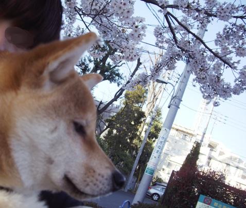 柴犬ズン画像040507