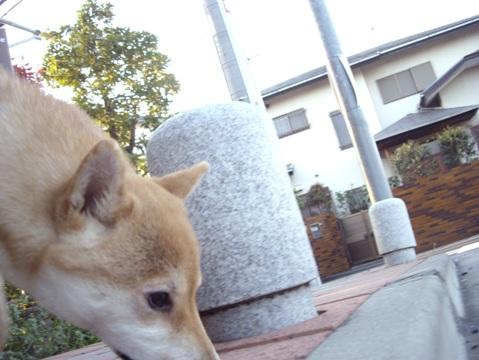 柴犬ズン画像040603