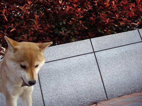 柴犬ズン画像040601