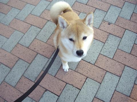 柴犬ズン画像040602
