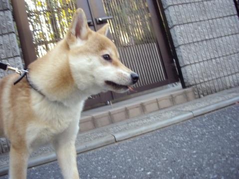 柴犬ズン画像040605
