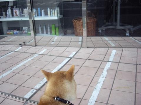 柴犬ズン画像040616