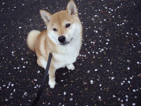 柴犬ズン画像040801