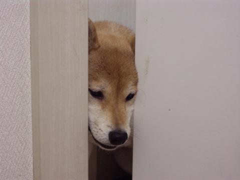 柴犬ズン画像040903