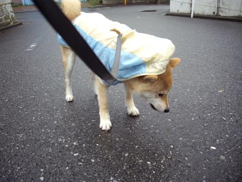 柴犬ズン画像041009