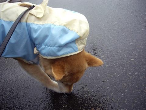 柴犬ズン画像041008